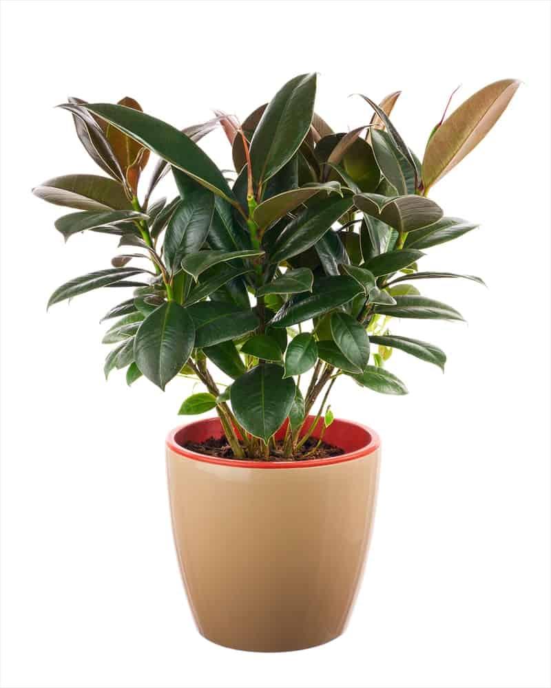 A Ficus eLastica plant as a houseplant