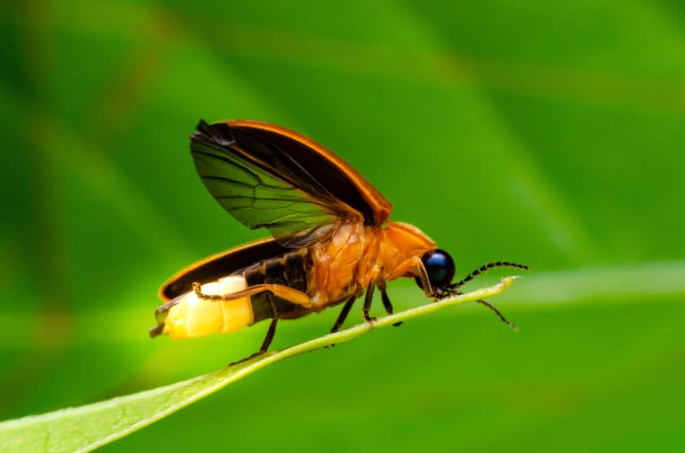 A Golden-Brown Firefly