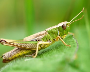 Meadow grasshopper on a green leaf