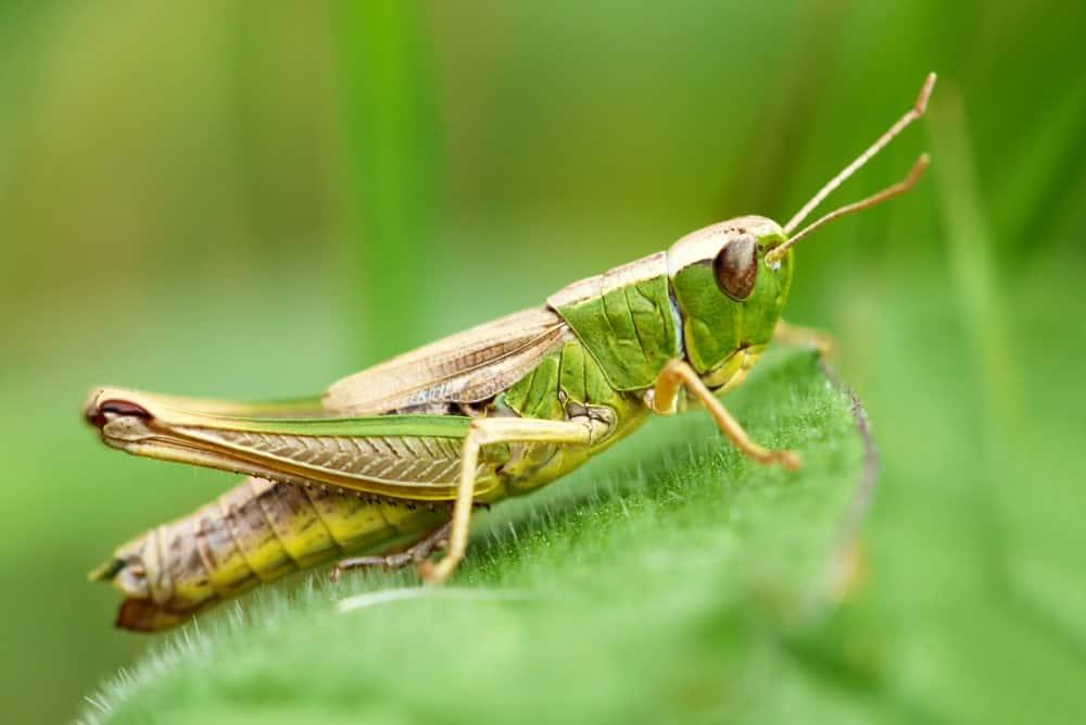 Meadow grasshopper on a green leaf