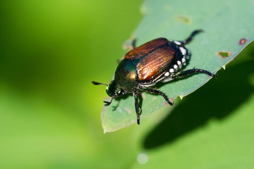 A Japanese Beetle in the Wild