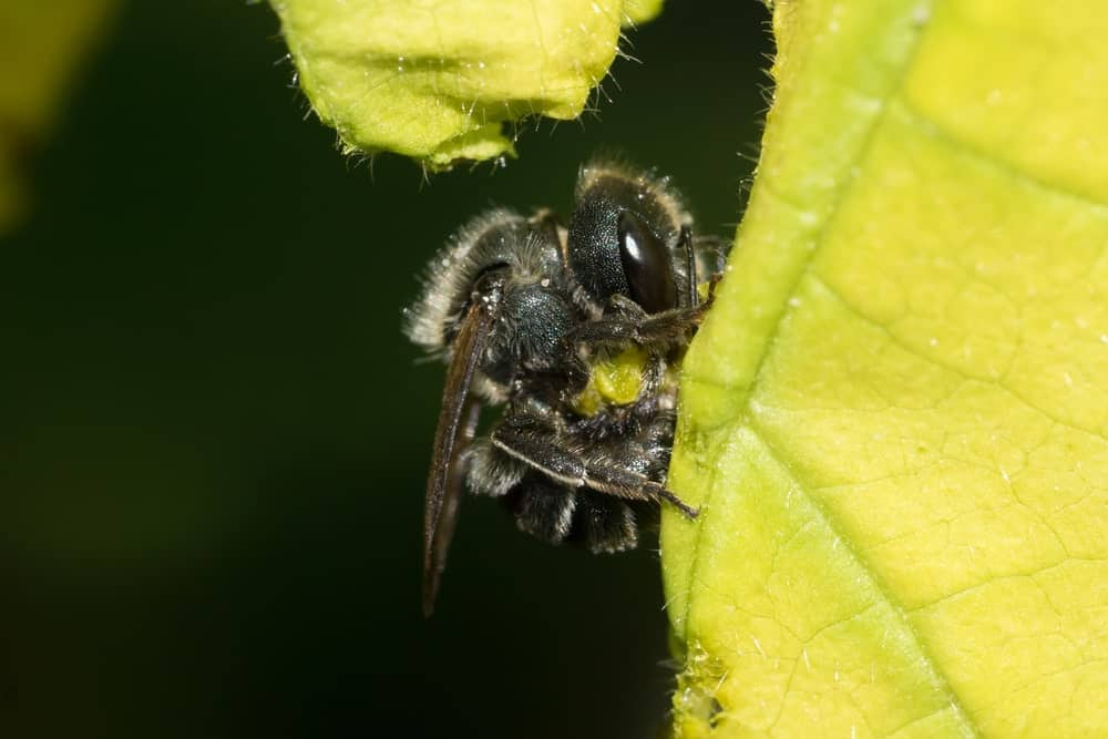 A Leafcutter Bee