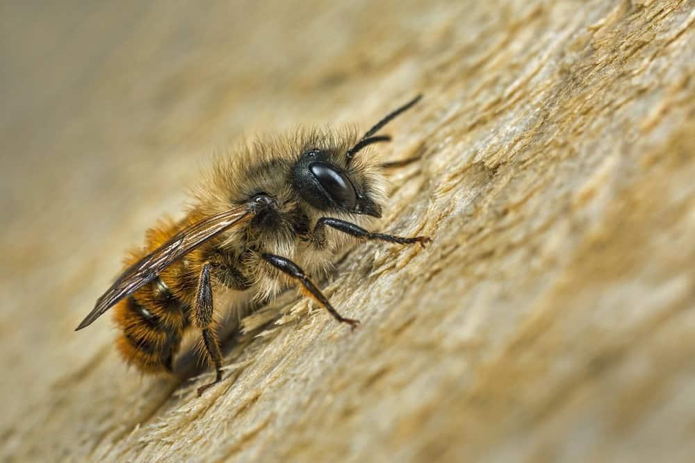 A Mason Bee