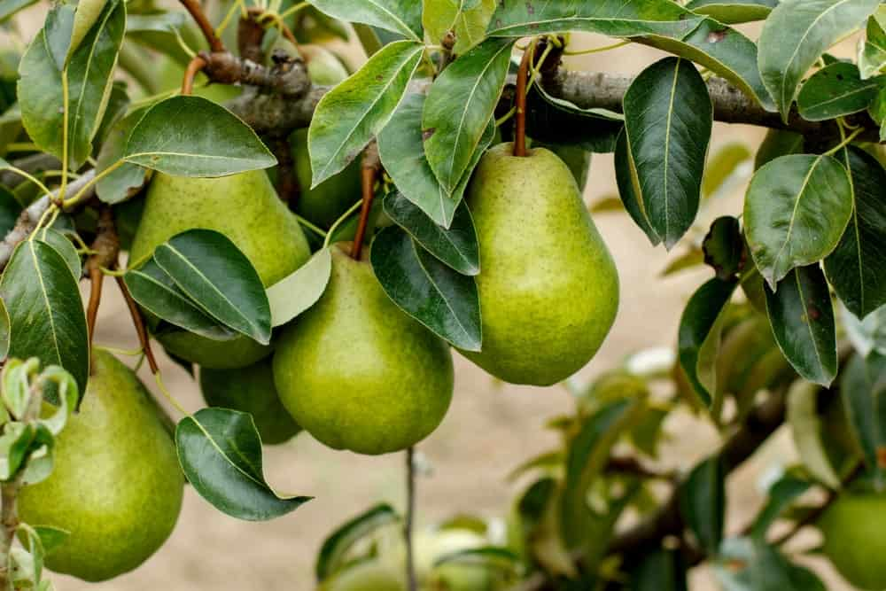 Fresh pears on a tree.