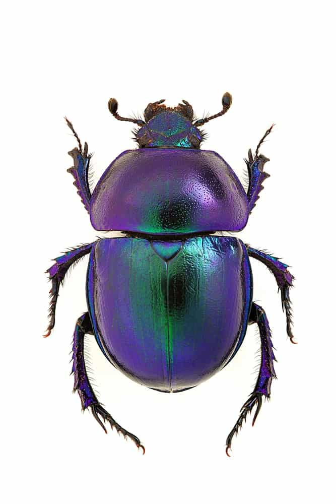 A Dung BEetlle