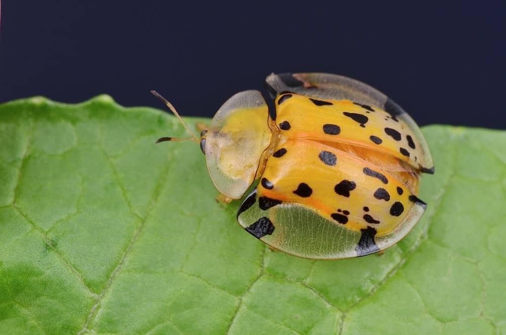 A Yellow Tortoise Beetle