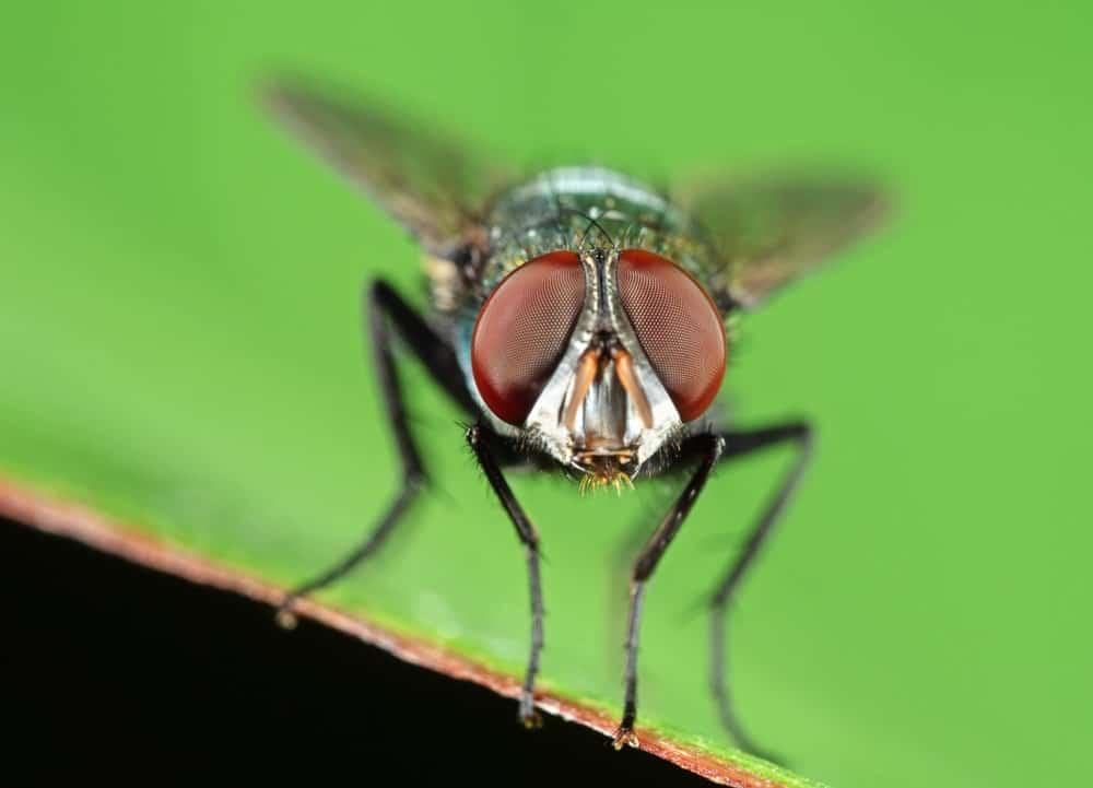A blowfly close-up