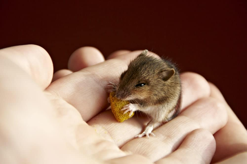 Little brown mouse gets a treat from its human
