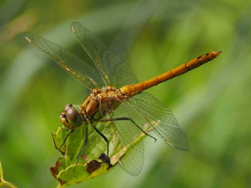 Aesnidae dragonfly
