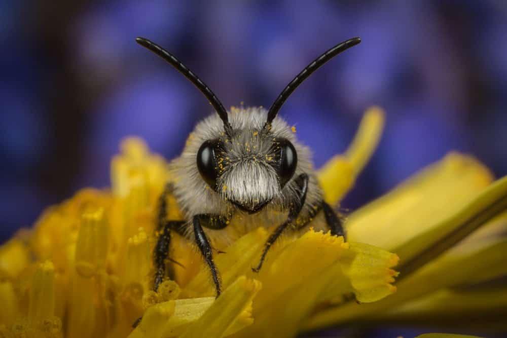 An Ashy Mining Bee