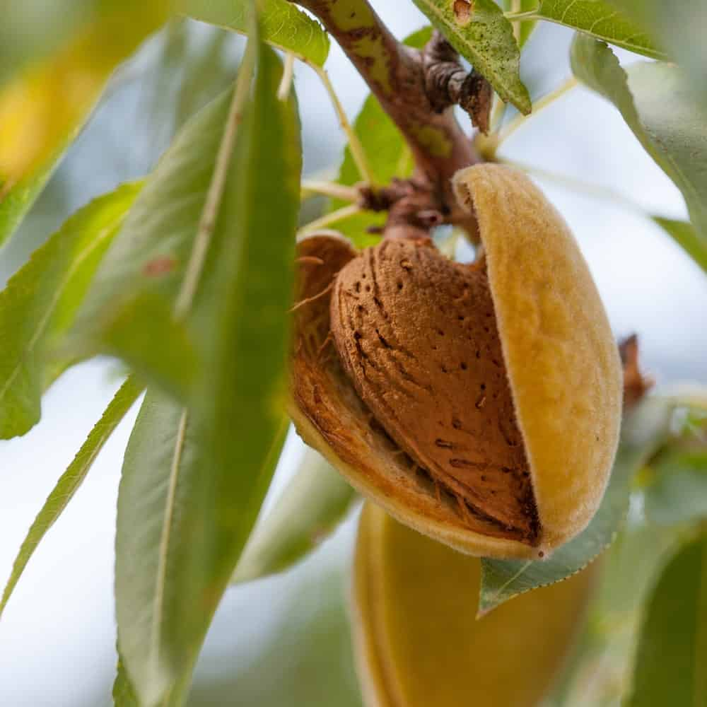 Almond fruit tree