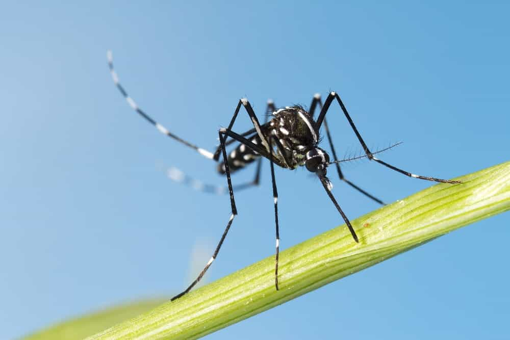 Black Mosquito on blue background