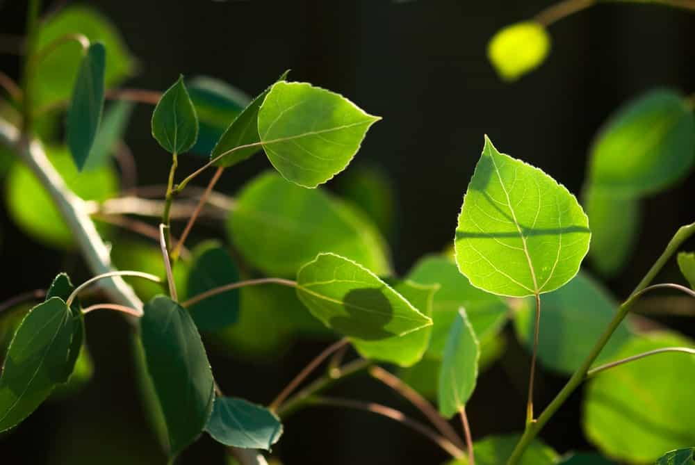 The green leaves of a trembling aspen tree glowing in the summer sunlight, in their natural habitat.