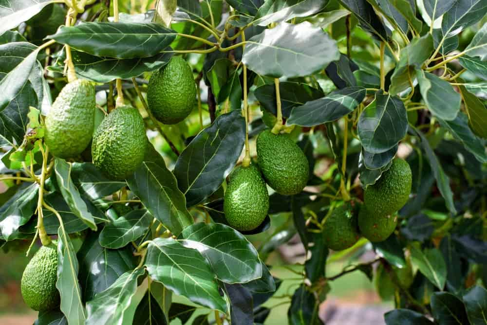 Avocado fruit trees