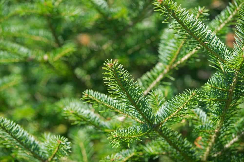Balsam fir tree tip