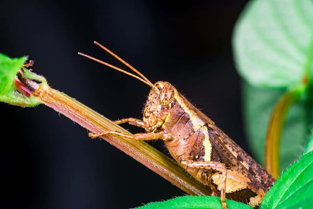 A Short-Horned Grasshopper