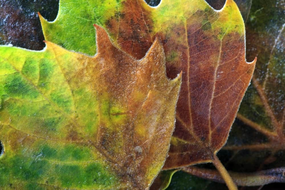 Leaves of the Populus grandidentata species, featuring large teeth on the edges of the leaves