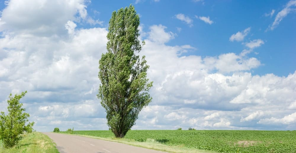 Black Cottonwood (Populus Nigra)