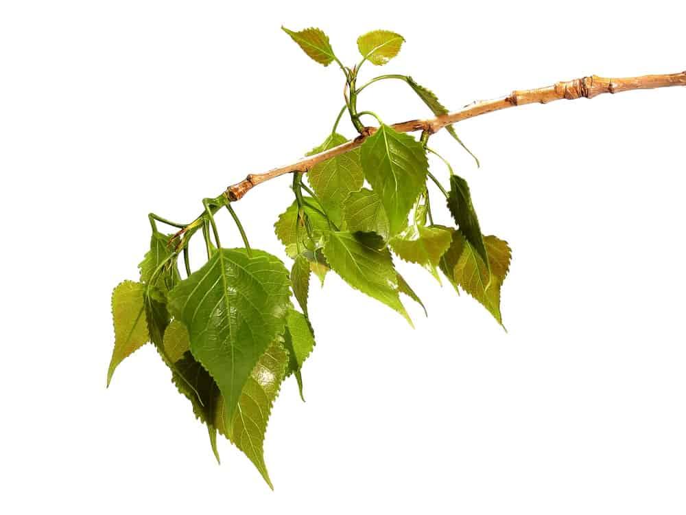 Leaves of Black Cottonwood