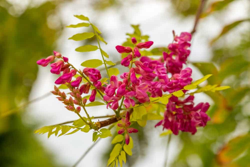 Bright pink flowers of the bristly locust tree