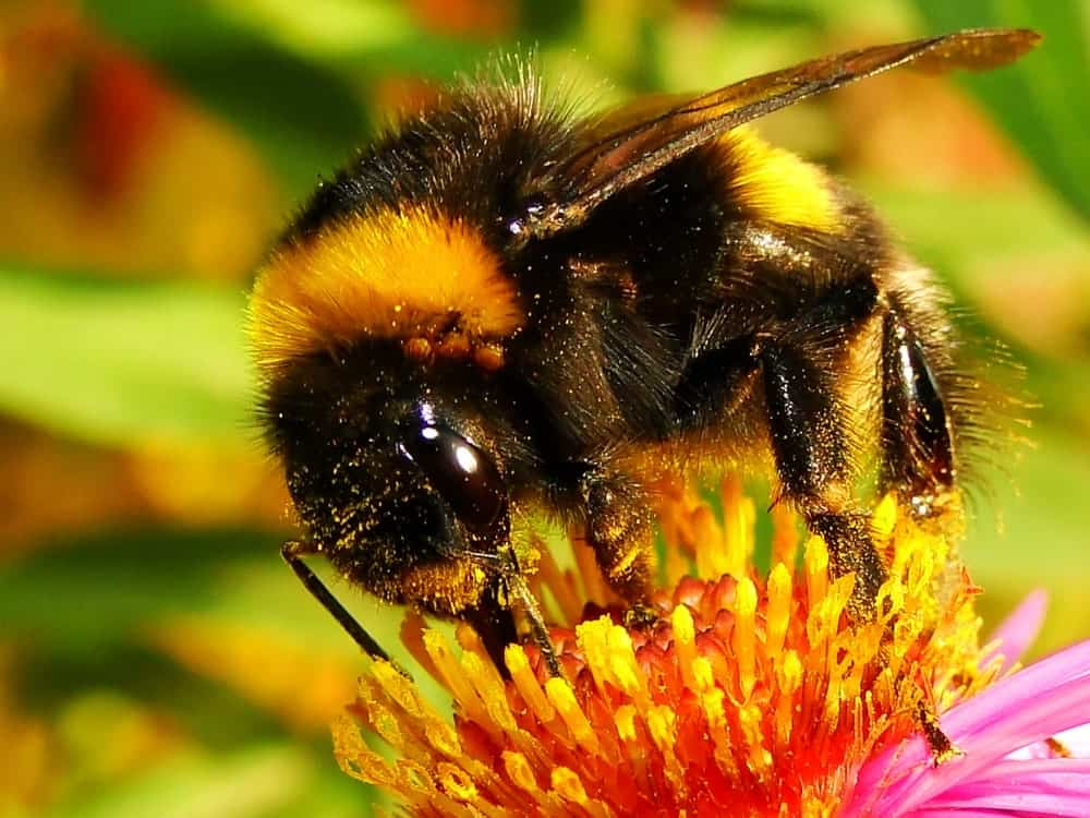 Bumblebee Pollinating on a flower