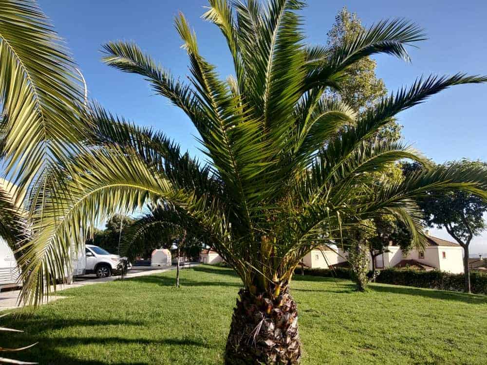 Caranday Palm Tree