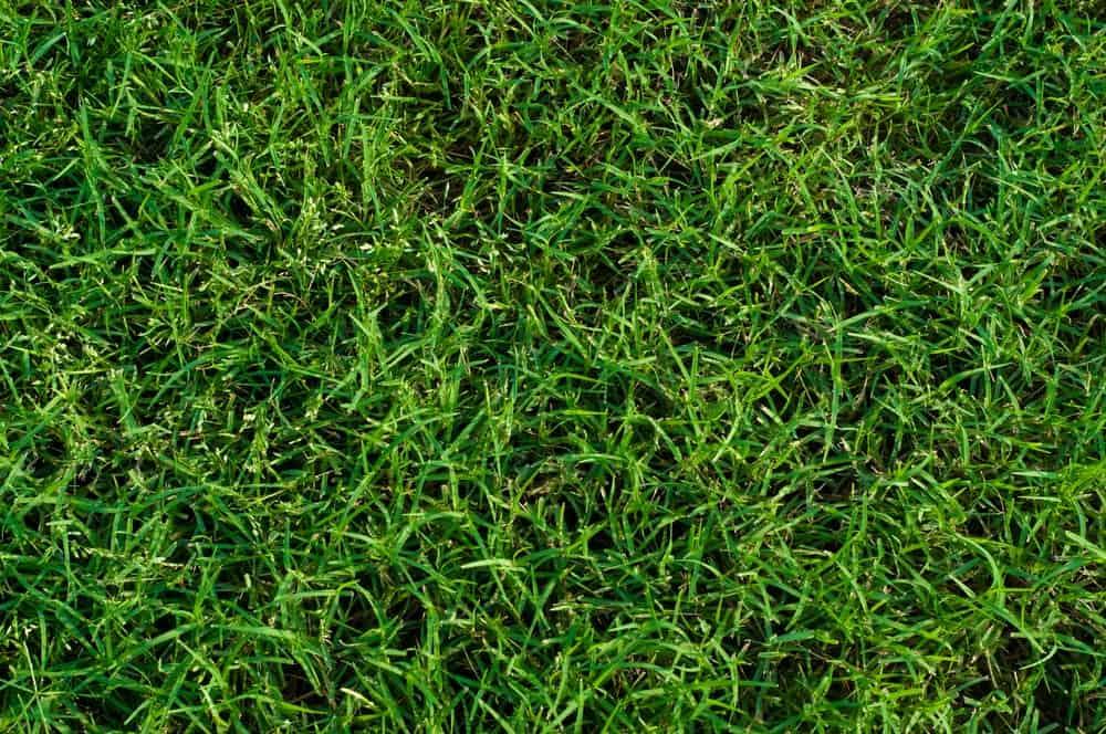 Closeup of Bermuda grass