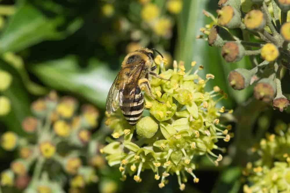 A Plasterer Bee