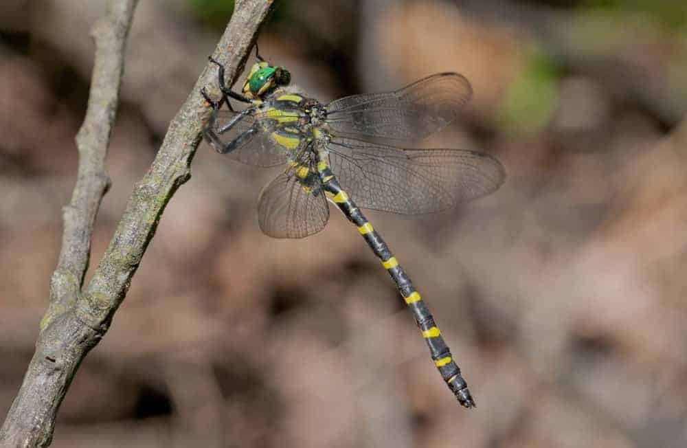 Petaluridae Dragonfly on a branch