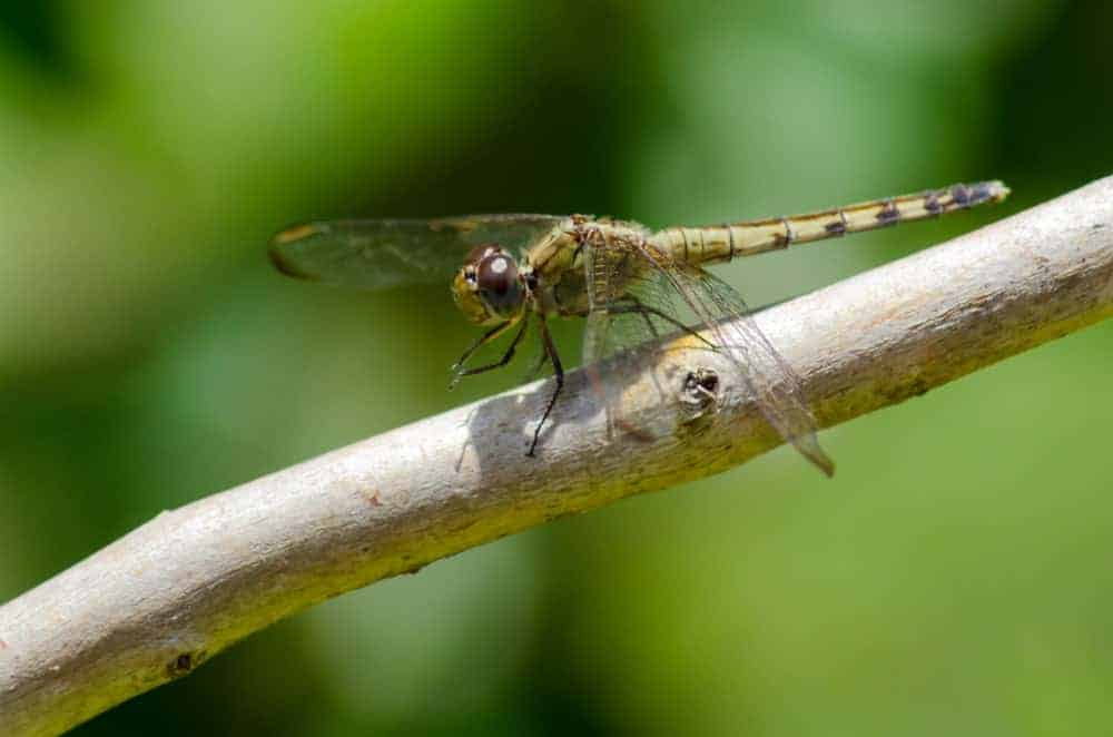 Corduliidae – Dragonfly