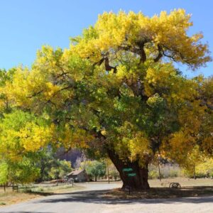 Beautiful yellow cottonwood tree in autumn