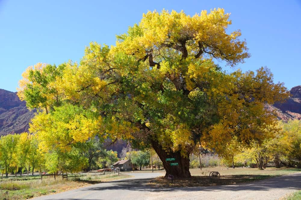 Beautiful yellow cottonwood tree in autumn