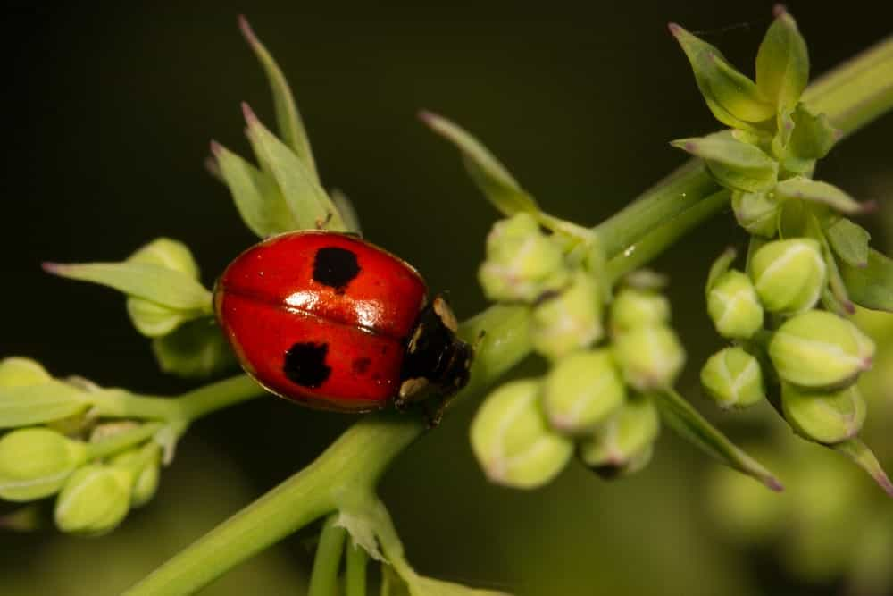 A dual-spotted female ladybug