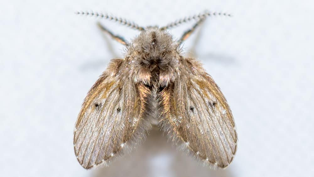 A small drain fly