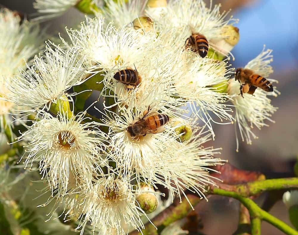 Eucalyptus cladocalyx photo example