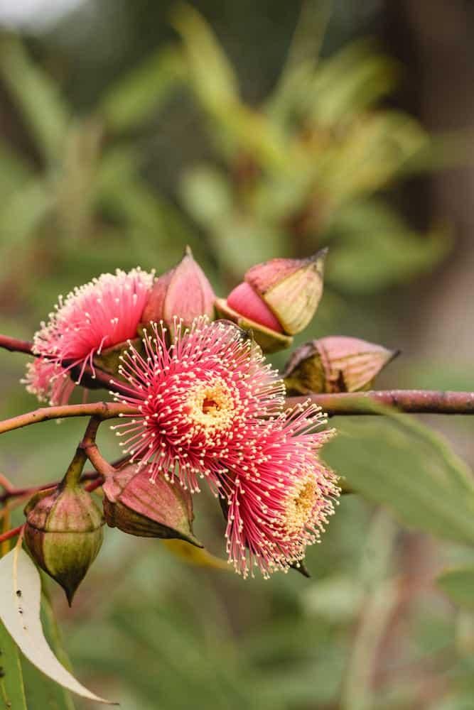Eucalyptus erythronema photo example