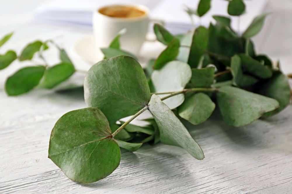 Eucalyptus pulverulenta example