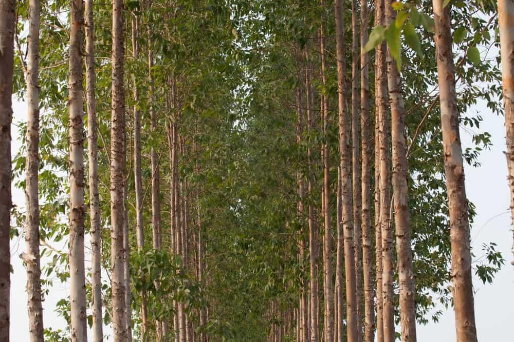 Eucalyptus trees in a field