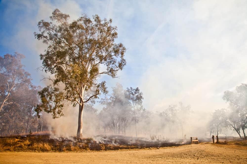 Burning Eucalyptus trees