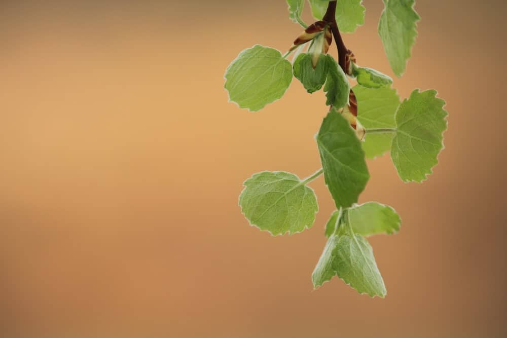 Leaves of the Eurasian aspen trees, featuring round edges and flattened petioles