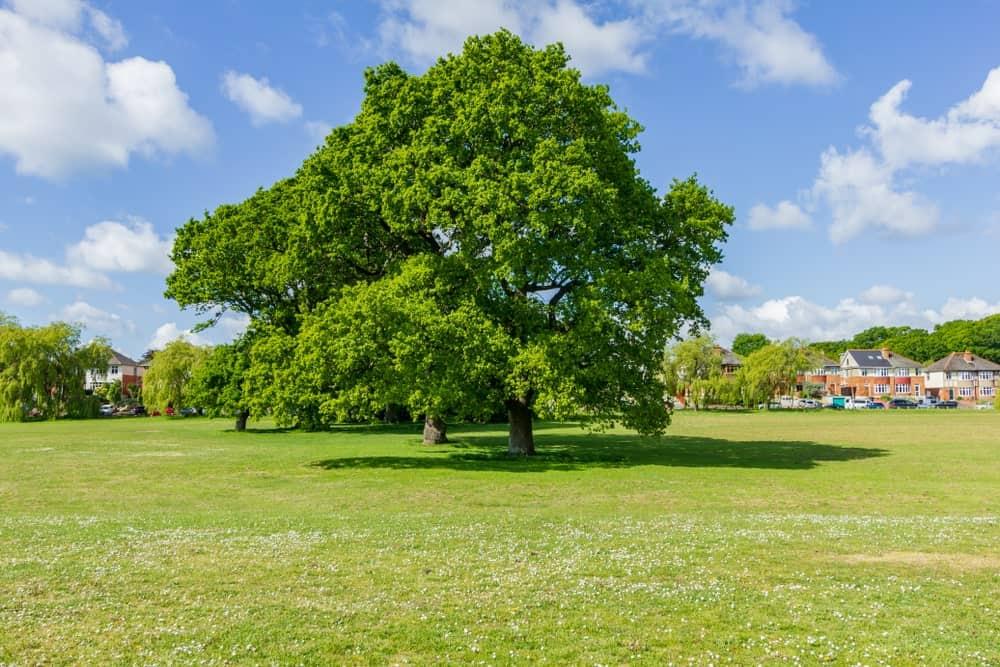 European Chestnut tree