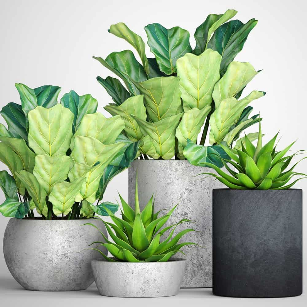 F.lyrata plants of different sizes being used as houseplants.