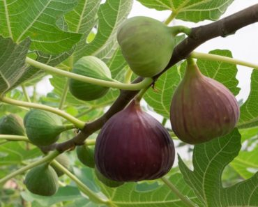 Ripened common figs hanging off a branch