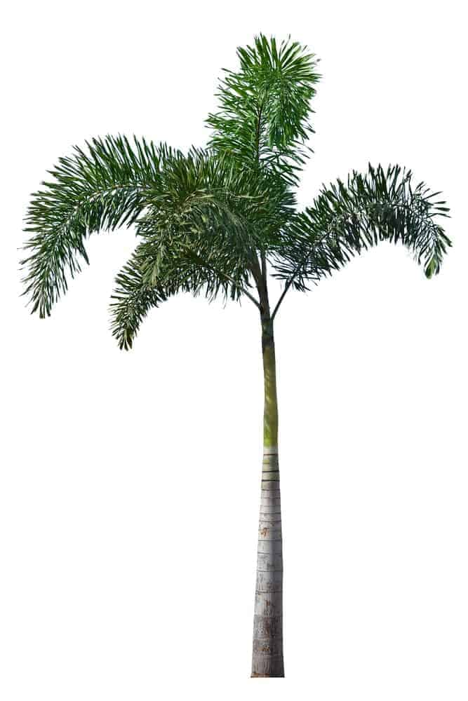 A Tall Palm tree