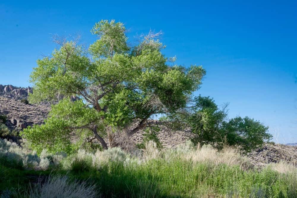 Fremont's Cottonwood (Populus Fremontii)
