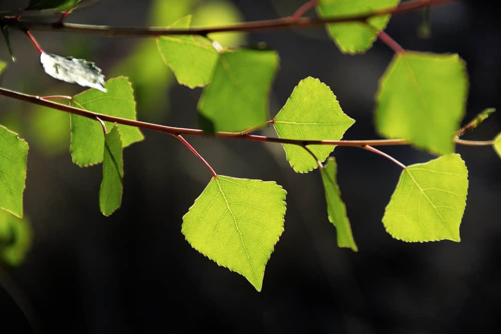 Leaves of Fremont's Cottonwood