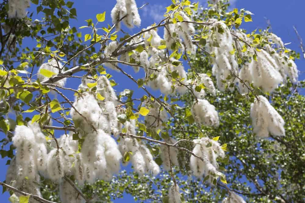 Flowers of Fremont's Cottonwood