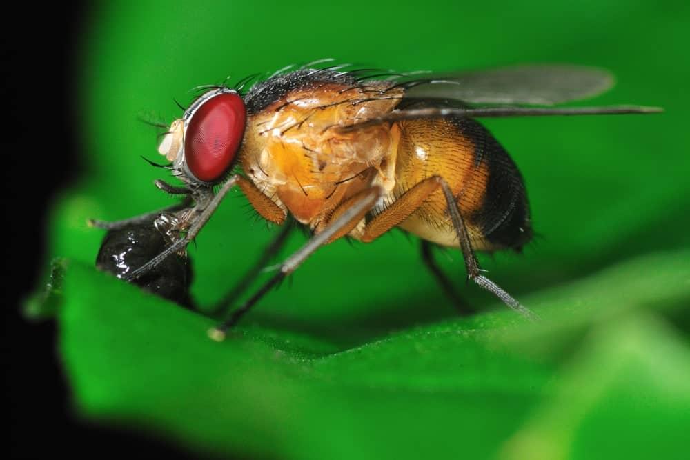 Fruit fly close-up