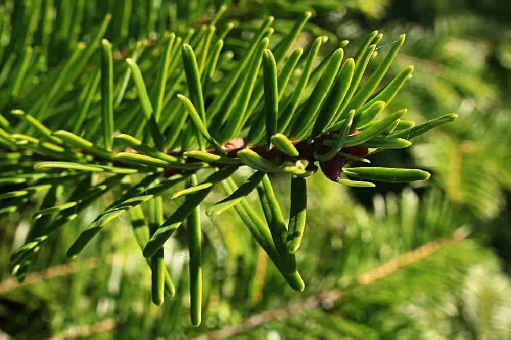 Grand fir tree tip