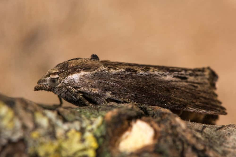 Dark Brown Colored Moth Resting